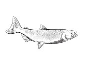 Hand drawn detailed marine element. Coho Salmon