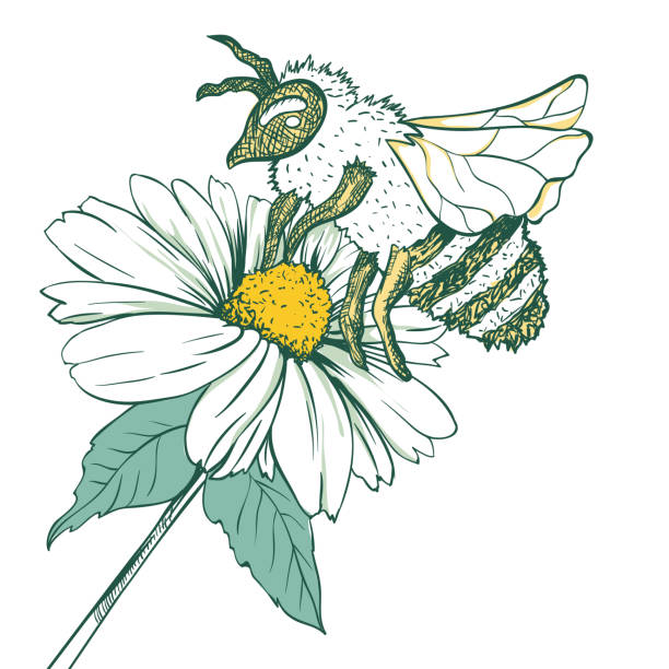 illustrazioni stock, clip art, cartoni animati e icone di tendenza di entomology sketch illustration with bee or wasp and camomile flower. blossoming and pollination. botanical or medical theme. - impollinazione