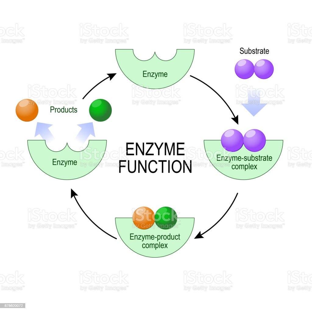 酵素機能 たんぱく質のベクターアート素材や画像を多数ご用意 Istock