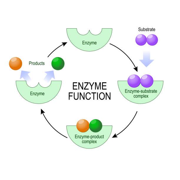 enzymfunktion. - enzyme stoffwechsel stock-grafiken, -clipart, -cartoons und -symbole