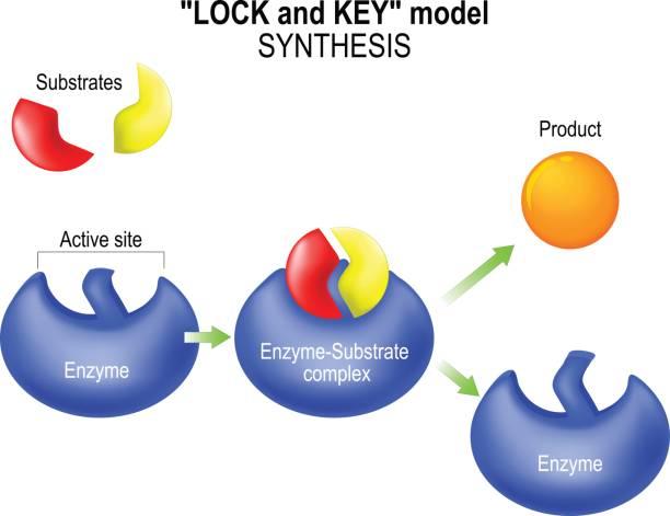 enzym. schloss und schlüssel-modell. synthese. - enzyme stoffwechsel stock-grafiken, -clipart, -cartoons und -symbole