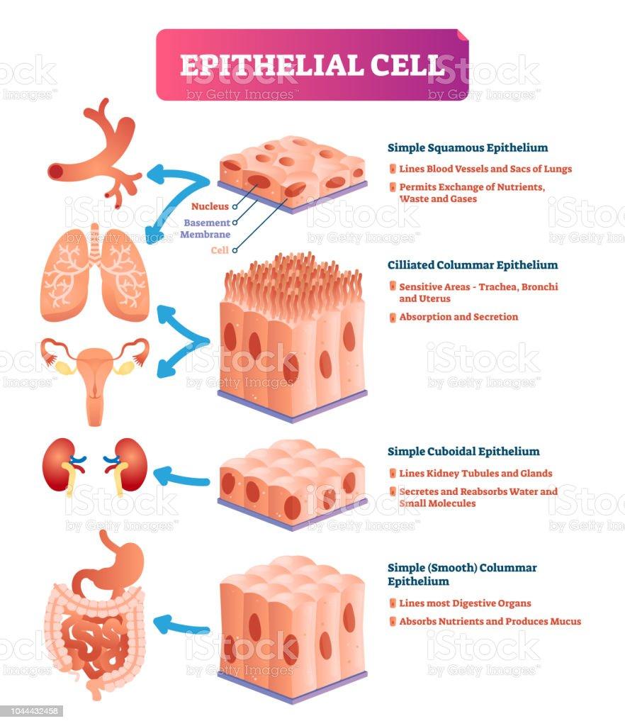 Ilustración de Las Células Epiteliales Vector Ilustración Médico ...