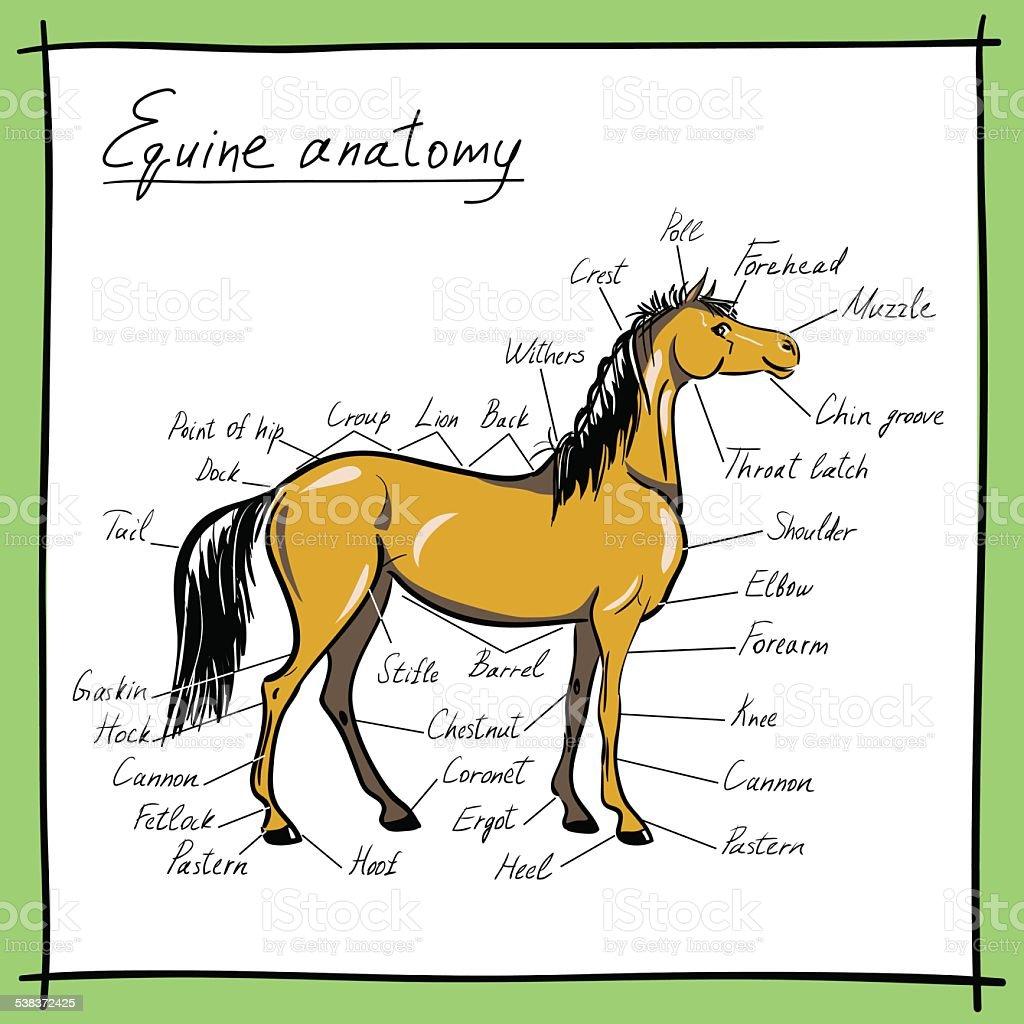 Equine Anatomy Parts Of Horse stock vector art 538372425 | iStock