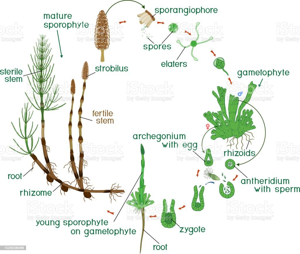 Life Cycle Of A Labeled Moss Diagram: Equisetum Life Cycle Diagram Of Life Cycle Of Horsetail
