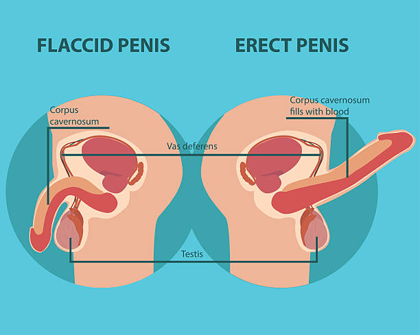 Royalty Free Penis Clip Art, Vector Images & Illustrations - iStock