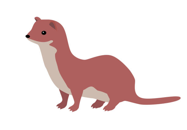Ermine or Weasel Vector Flat Design Illustration Ermine flat style vector. Wild predatory animal. Middle, high latitudes fauna species. Weasel or sable cartoon on white background. For nature concept, children s book illustrating, printing materials ermine stock illustrations