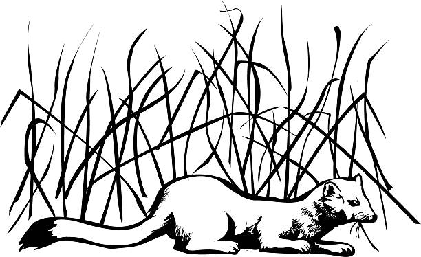 Ermine Ermine - a small , agile and brave predator , living in the taiga and tundra . Image can be used in topics about the fauna of northern nature . ermine stock illustrations