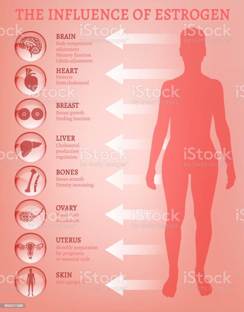 Estrogen effects Infographic vector art illustration