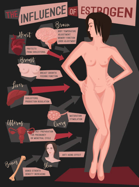 Estrogen Influence Infographic vector art illustration