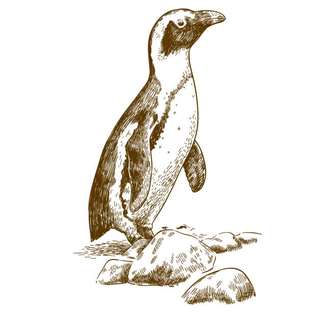 etching drawing illustration of humboldt penguin - penguin stock illustrations