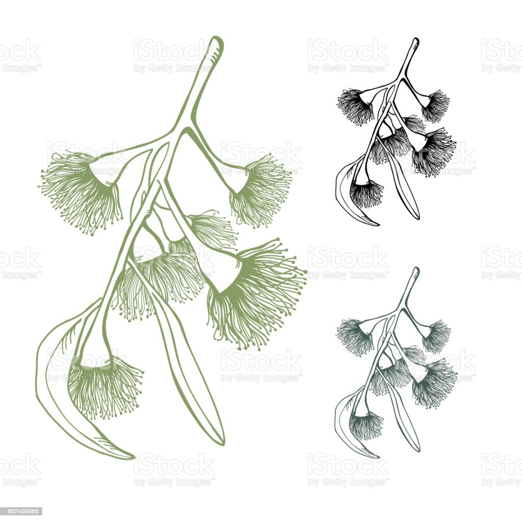 Eucalyptus Flowering Gumnut Set Mixed Colours on a White isolated background vector art illustration