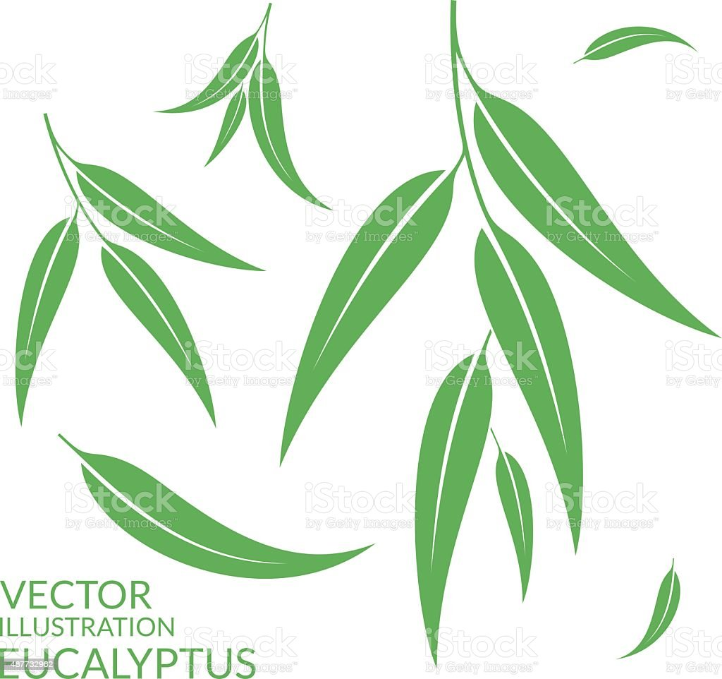 Eucalyptus. Isolated leaves on white background vector art illustration