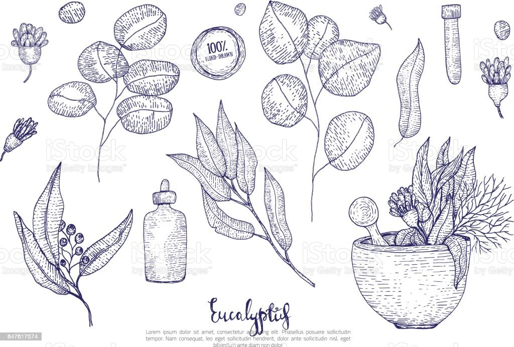 Eucalyptus medical leaves, flowers and bottles set isolated on white background. Engraved sketch style vector art illustration