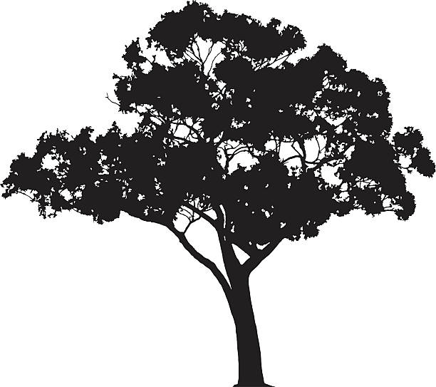 Eucalyptus tree silhouette, Vector vector art illustration