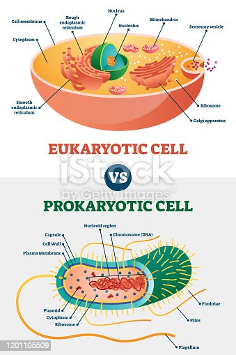 Eukaryotic vs Prokaryotic cells, educational biology vector illustration diagram. Microbiology scheme with cell type examples. Cell membranes, cytoplasm, chromosomes, ribosomes and various organelles.
