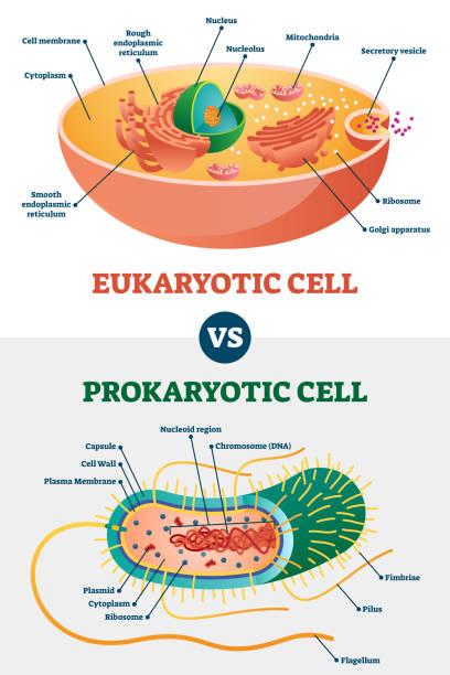 eukaryotische vs prokaryotische zellen, pädagogische biologie vektor-illustration diagramm - prokaryont stock-grafiken, -clipart, -cartoons und -symbole