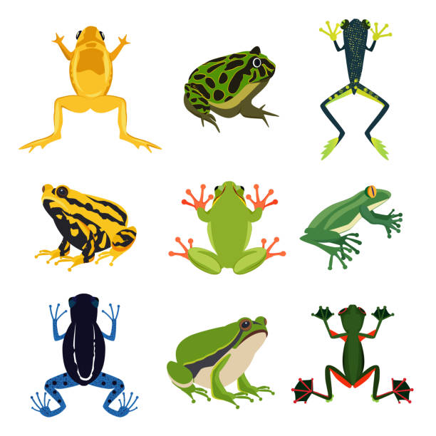 exotic amphibian set. different frogs in cartoon style. green animals isolate on white - reptiles stock illustrations