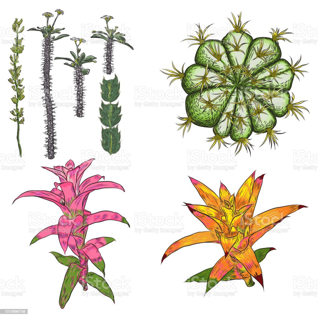 Exotic Cactus Succulents Set Different Cactuses And Cacti In Color Drawing Style Natural Hand Drawing Desert Plants Vector Stock Illustration Download Image Now Istock