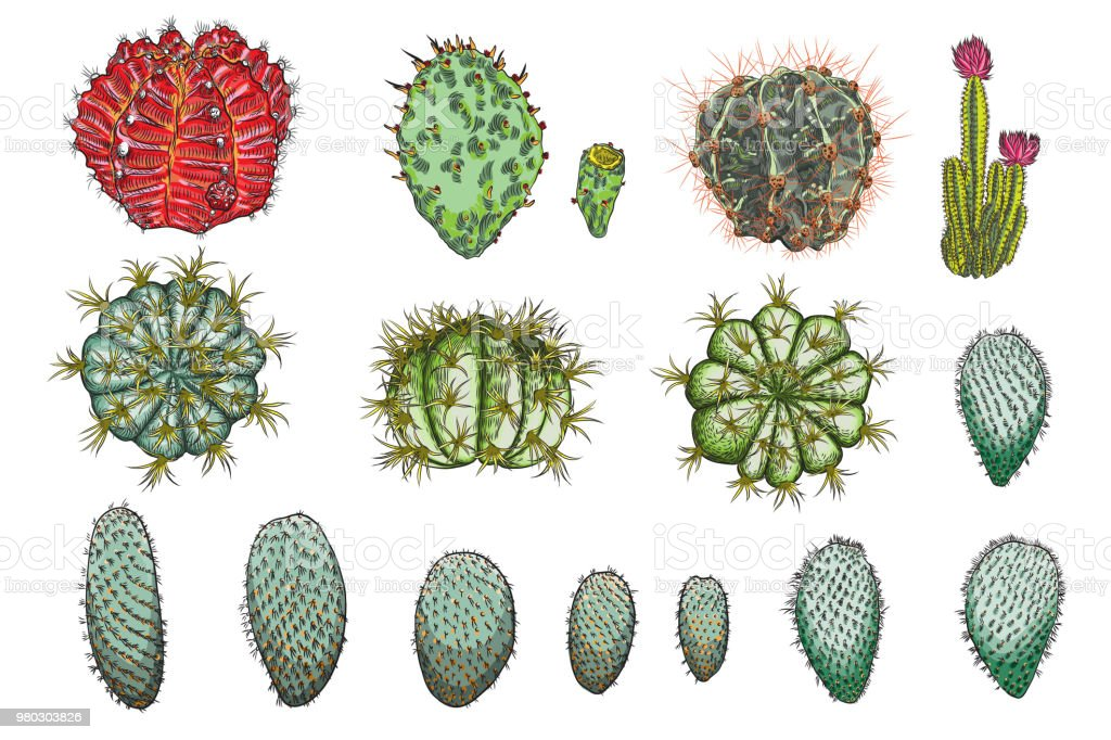 exotic cactus succulents set different cactuses and cacti in color