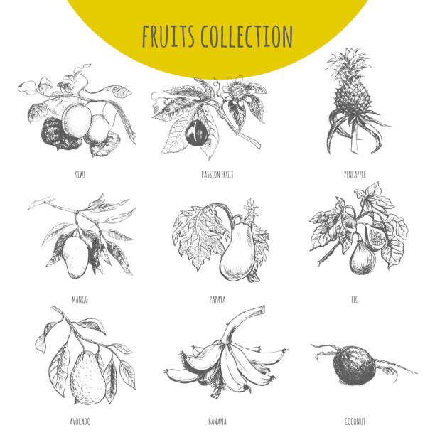 illustrazioni stock, clip art, cartoni animati e icone di tendenza di exotic fruits vector botanical illustration sketch set - passiflora
