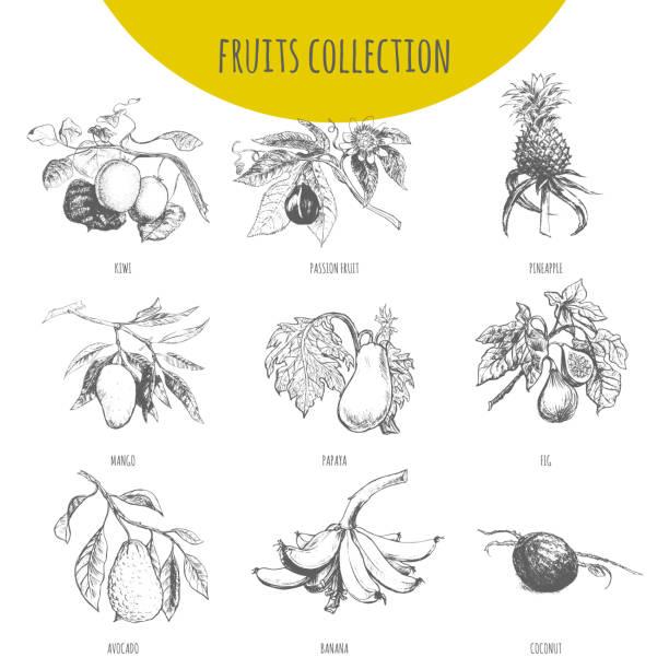 illustrations, cliparts, dessins animés et icônes de set esquisse de fruits exotiques vector illustration botanique - fruit de la passion