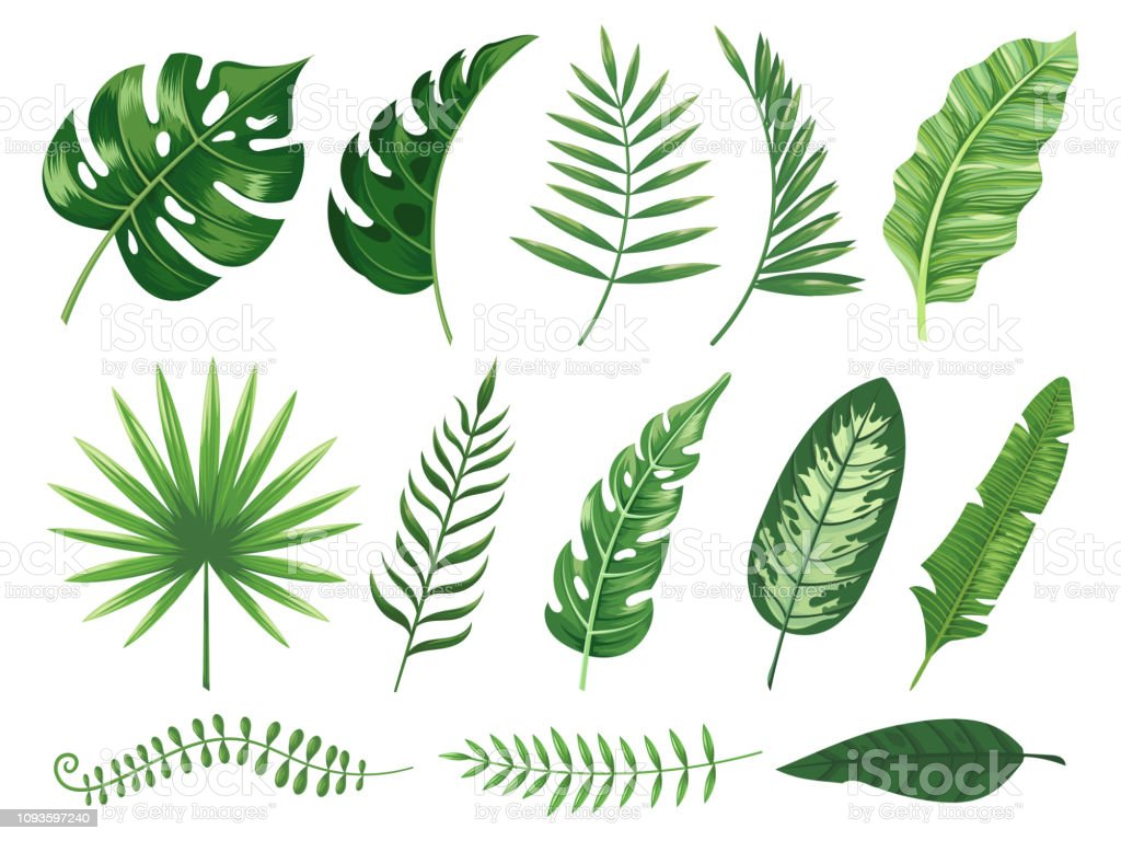 Exotic Tropical Leaves Monstera Plant Leaf Banana Plants And Green Tropics Palm Leaves Isolated Vector Illustration Set Stock Illustration Download Image Now Istock This allows water to run off the leaves quickly without. exotic tropical leaves monstera plant leaf banana plants and green tropics palm leaves isolated vector illustration set stock illustration download image now istock