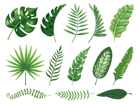 Exotic tropical leaves. Monstera plant leaf, banana plants and green tropics palm leaves isolated vector illustration set