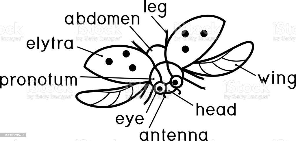Böcek Boyama Sayfası Dış Yapısını Başlıkları Ile Uçan Uğur Böceği