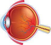 Eye anatomy isolated on white vector