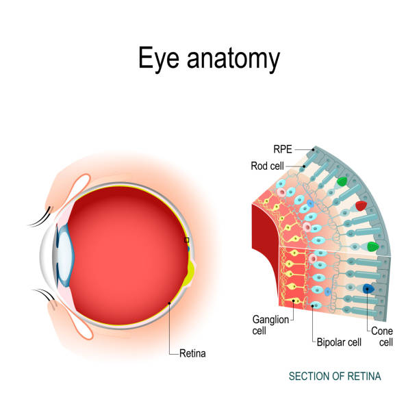 eye anatomy. rod cells and cone cells. - сетчатка stock illustrations