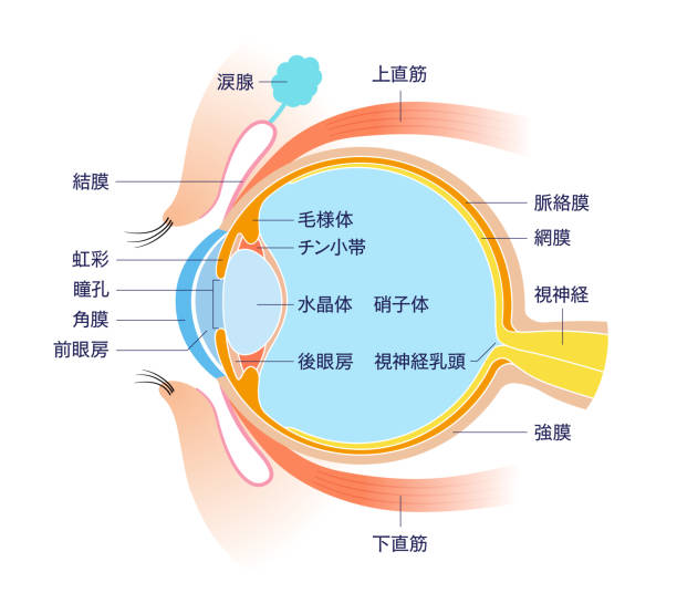 Eye Cross section Anatomy (with Japanese name) Eye Cross section Anatomy (with Japanese name) exocrine gland stock illustrations