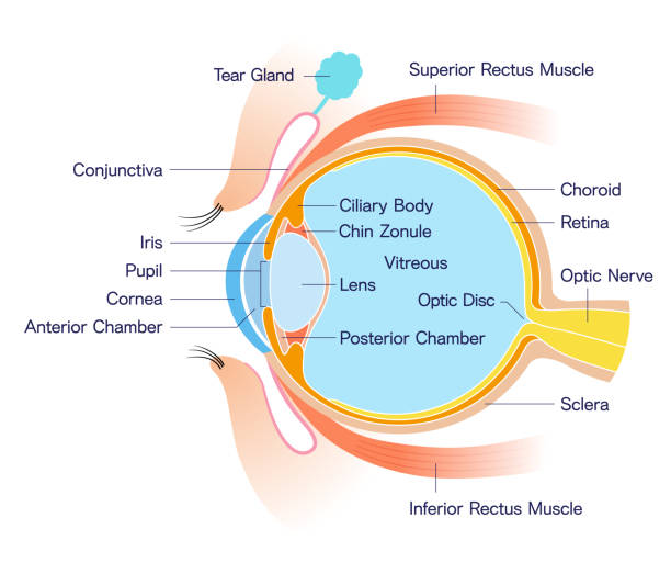 eye cross section anatomy (with name) - сетчатка stock illustrations