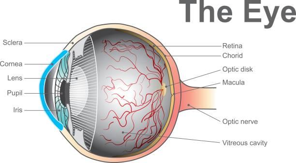 eye system vector art illustration