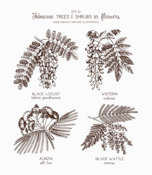 fabaceae-sammlung - robinie stock-grafiken, -clipart, -cartoons und -symbole