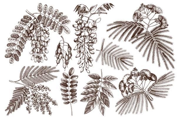 fabaceae collection - robinie stock-grafiken, -clipart, -cartoons und -symbole