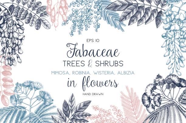 fabaceae-vorschau - robinie stock-grafiken, -clipart, -cartoons und -symbole