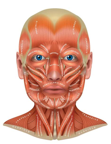 Royalty Free Frontalis Muscle Clip Art, Vector Images ...