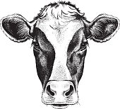 Face of a Cow