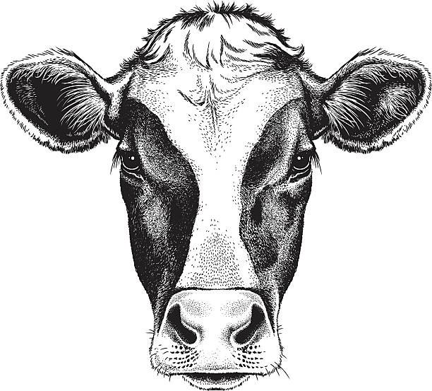 Face of a Cow Black and white sketch of a friesian cow's face. Vector portrait. domestic cattle stock illustrations