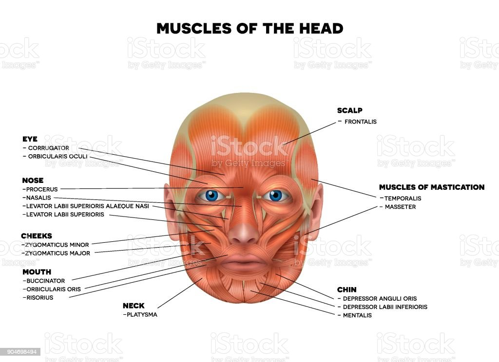 Facial Muscles Stock Vector Art & More Images of Anatomy 904698494 ...