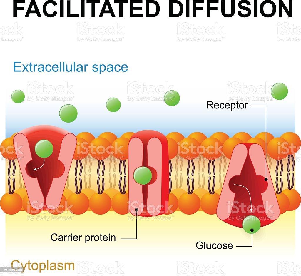 Facilitated diffusion or passive-mediated transport vector art illustration