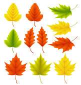 Fall leaves vector collection. Set of autumn leaves like maple and oak with different colors isolated in white background. Vector illustration.