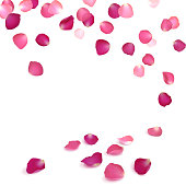 falling petals of pink roses on a white background