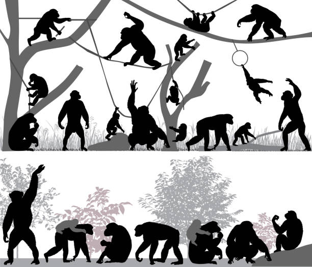 Family of chimpanzee Silhouettes of chimpanzees and its cubs outdoors monkey stock illustrations