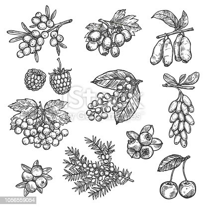 Berries sketch of raspberry, strawberry, sea buckthorn or hawthorn and whitethorn fruits. Forest cherry, lingonberry or cowberry and bilberry, viburnum berry or blueberry and currant with honeysuckle