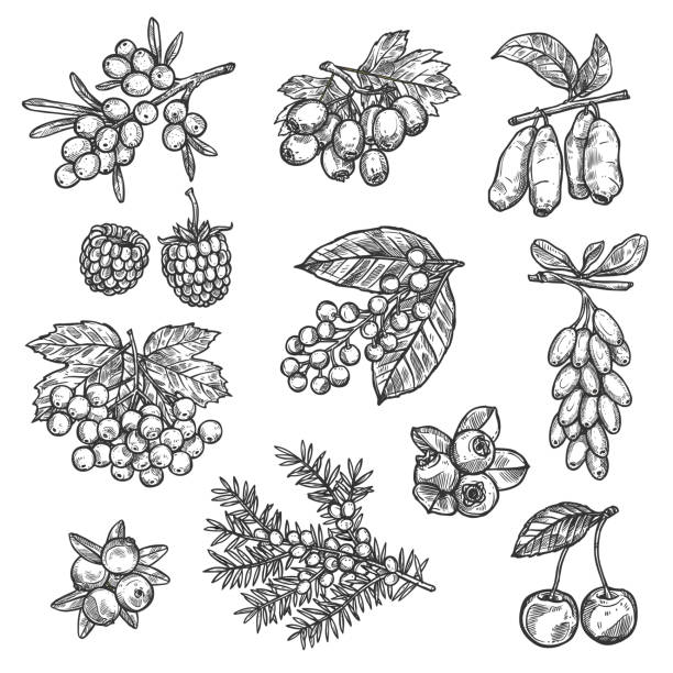 Farm and forest vector sketch berries harvest Berries sketch of raspberry, strawberry, sea buckthorn or hawthorn and whitethorn fruits. Forest cherry, lingonberry or cowberry and bilberry, viburnum berry or blueberry and currant with honeysuckle black currant stock illustrations