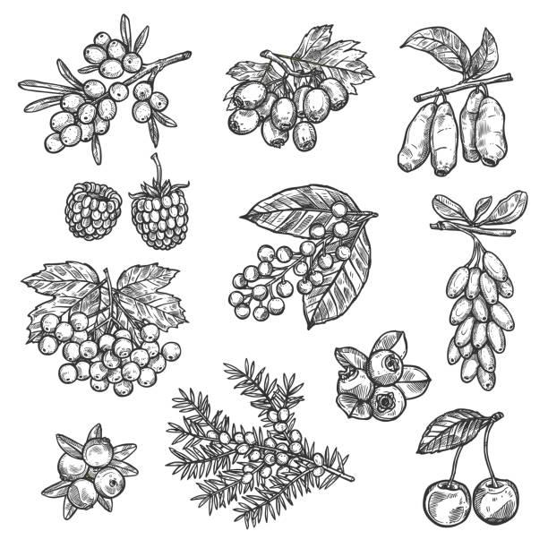 bildbanksillustrationer, clip art samt tecknat material och ikoner med gård och skogen vektor skiss bär skörd - bär