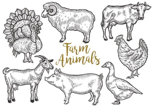 bildbanksillustrationer, clip art samt tecknat material och ikoner med gård djur set. färsk ekologiskt kött. ko, get, gris, turkiet, höna, fåren, gås, anka. hand ritad skiss. vintage vektor gravyr illustration för affisch, web. isolerad på svart bakgrund - höna