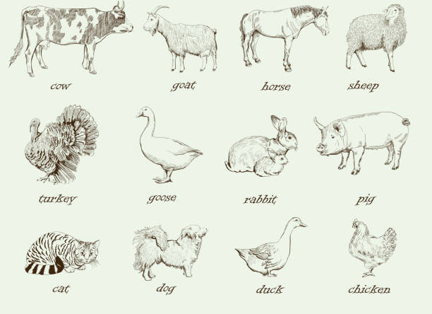 farm animals farm animals. set of vector sketches on a white background poultry stock illustrations