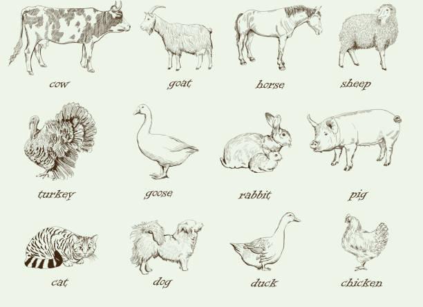 bildbanksillustrationer, clip art samt tecknat material och ikoner med farm animals - fjäderfä